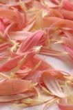 Pink petals Royalty Free Stock Photography