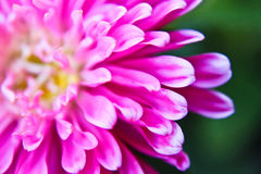 Pink petals of aster. Abstract of pink petals of aster - depth of field Royalty Free Stock Images