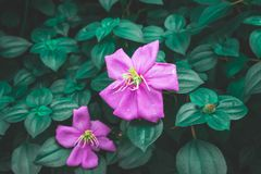Pink petals blossom, Spanish shawl is flowering groundcover plant blooming on dark green leaves royalty free stock photo