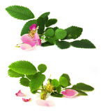Pink petals briar fresh flowers isolated Stock Images