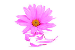 Pink Petals Royalty Free Stock Photos
