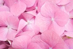 Pink petals detail Stock Photo