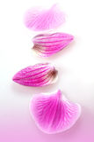 Pink Petals of flower orchid Royalty Free Stock Images