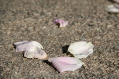 Pink petals on gray stone background royalty free stock photo