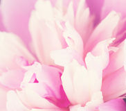 Pink petals of a peony Stock Photography