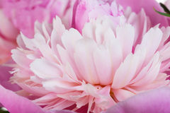 Pink petals of a peony close up Stock Image