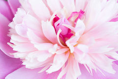 Pink petals of a peony Stock Images