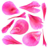 Pink petals of peony isolated on white background. Pink petals of peony close-up isolated on white background Stock Photos