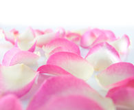 Pink petals rose Royalty Free Stock Photos