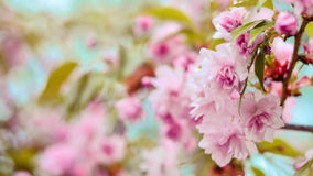 Pink petals. Springtime trees blooming; pink flowers Royalty Free Stock Photos