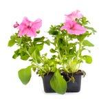 Pink petunia Stock Image