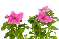 Pink petunia Royalty Free Stock Photography
