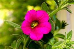 Pink Petunia Stock Photography