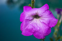 Pink petunia Royalty Free Stock Photo
