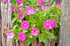 Pink petunia. Beautiful flowerbed with many bright violet petunia Stock Images