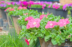 Pink petunia. Beautiful flowerbed with many bright violet petunia Royalty Free Stock Photo