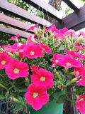 Pink petunia Royalty Free Stock Images