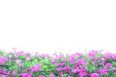 Pink Petunia Stock Photo