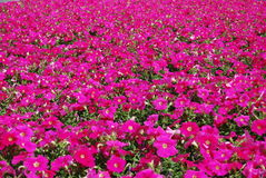 Pink petunia. Beautifully flowering petunia on a summer flowerbed Stock Photography