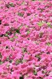 Pink petunia blossom. Royalty Free Stock Photo