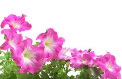 Pink petunia border Royalty Free Stock Photography