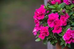 Pink petunia. Pink Duble bloom petunia in garden Stock Photo