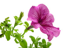 Pink petunia flower Royalty Free Stock Images