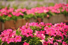 Pink petunia flower Royalty Free Stock Photos