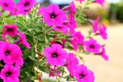 Pink petunia flower blooming. Hanging in  basket Stock Photography