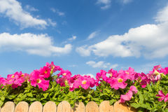 Pink petunia flower with cloud and sky background Royalty Free Stock Photos
