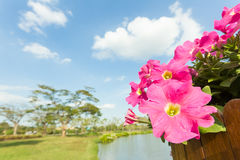 Pink petunia flower with cloud and sky Stock Images