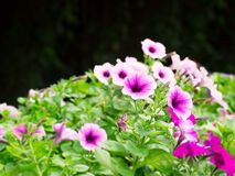 Pink petunia flower in the garden royalty free stock photo