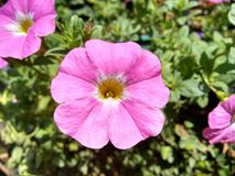 Pink petunia flower. A plant of the nightshade family with brightly colored funnel-shaped flowers Stock Photography