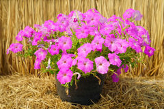 Pink petunia flower plants in the garden. Royalty Free Stock Photos