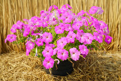 Pink petunia flower plants in the garden. Stock Photography