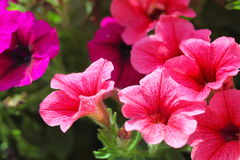 Pink petunia flower plants in the garden. Stock Images