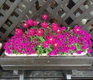 Pink petunia flower pot stock photos