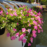 Pink petunia Flower in potted Stock Photo