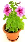 Pink petunia in flowerpot Stock Photos
