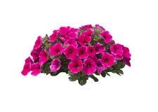 Pink Petunia Flowers Royalty Free Stock Photos