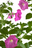 Pink petunia flowers. Isolated on white background Stock Image