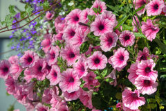 Pink petunia flowers Stock Images