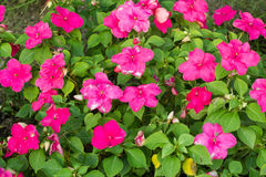 Pink Petunia Flowers. Field of Pink Petunia flowers in the public garden Royalty Free Stock Photo