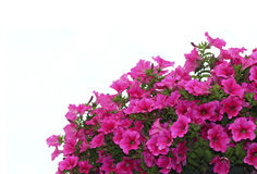 Pink petunia flowers. Bright pink petunia flowers isolated Royalty Free Stock Photos