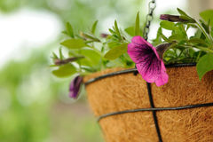 Pink Petunia Flowers in Basket Royalty Free Stock Photos