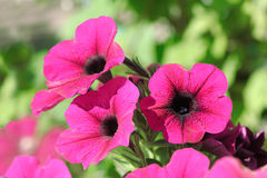 Pink Petunia Flowers Close-Up Royalty Free Stock Images
