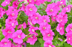 Pink petunia flowers Royalty Free Stock Images