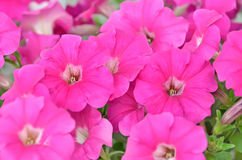 Pink petunia flowers, close up view Royalty Free Stock Image