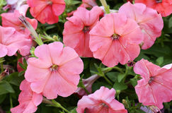 Pink petunia flowers, close up view, selective focus Stock Photo