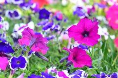 Pink petunia flowers, close up view, selective focus Stock Photography